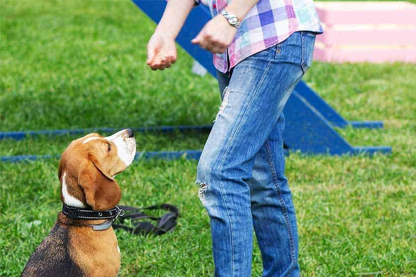 Girl in the park trains a beagle dog