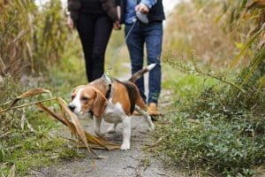 How Much Exercise Do Beagles Need