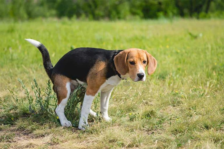 Why Do Beagles Eat Poop – Coprophagia (Poo Eating)