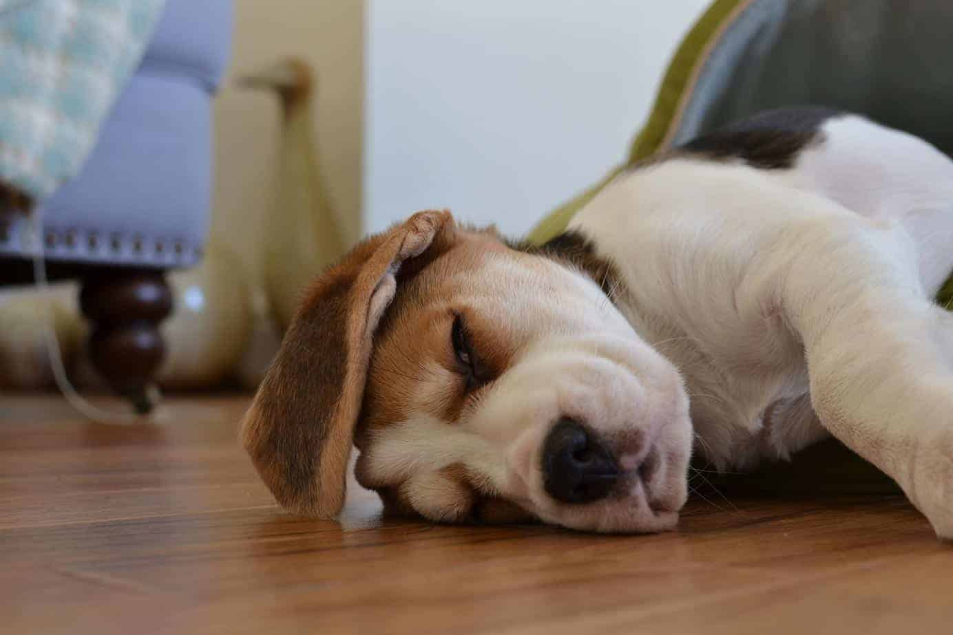 Bringing A Beagle Puppy Home A Complete 11 Step Guide My Beagle Buddy