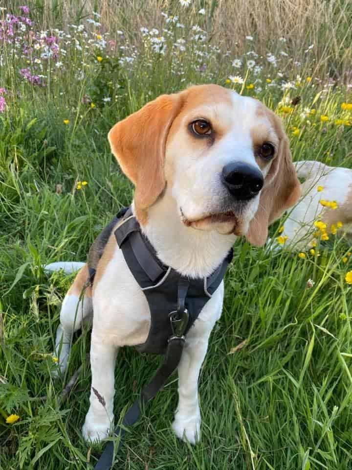 Baylee the Beagle on a walk during COVID-19
