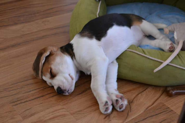 healthy beagle puppy taking a snooze