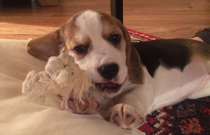 training a beagle what they can and cannot to chew is important