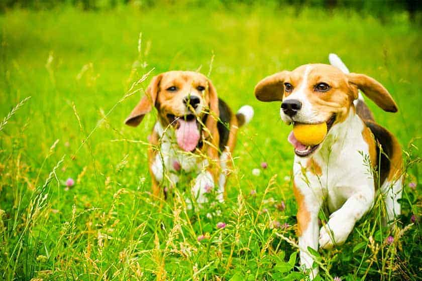 Beagles are pack animals and love to be with people or other dogs. They are not suited to being alone for long periods.