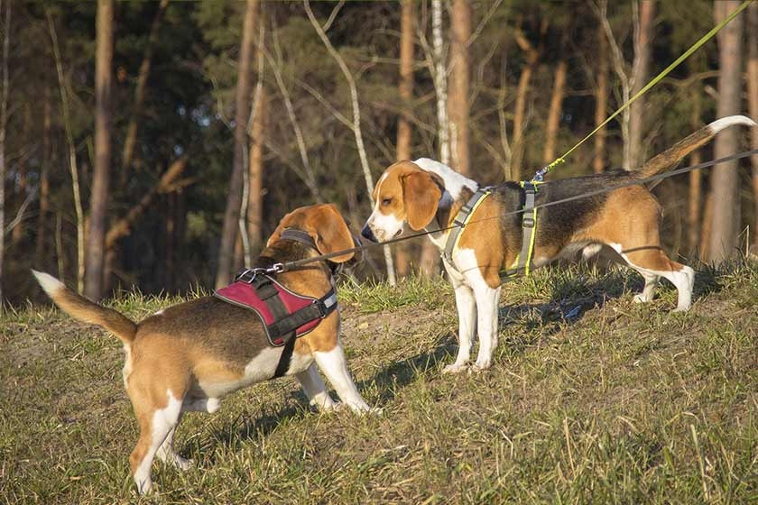 Two beagles meet each other for the first time