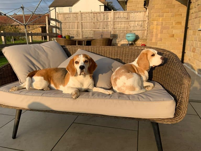 baylee and bonnie the beagles