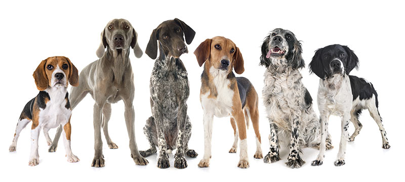 A harrier, beagle, and other hounds
